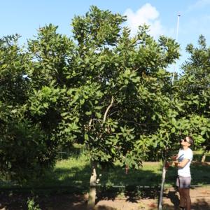 New high yield macadamia variety Variety P - MIV1-P