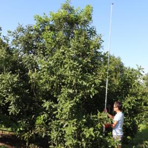 New high yield macadamia variety Variety J - MIV1-J