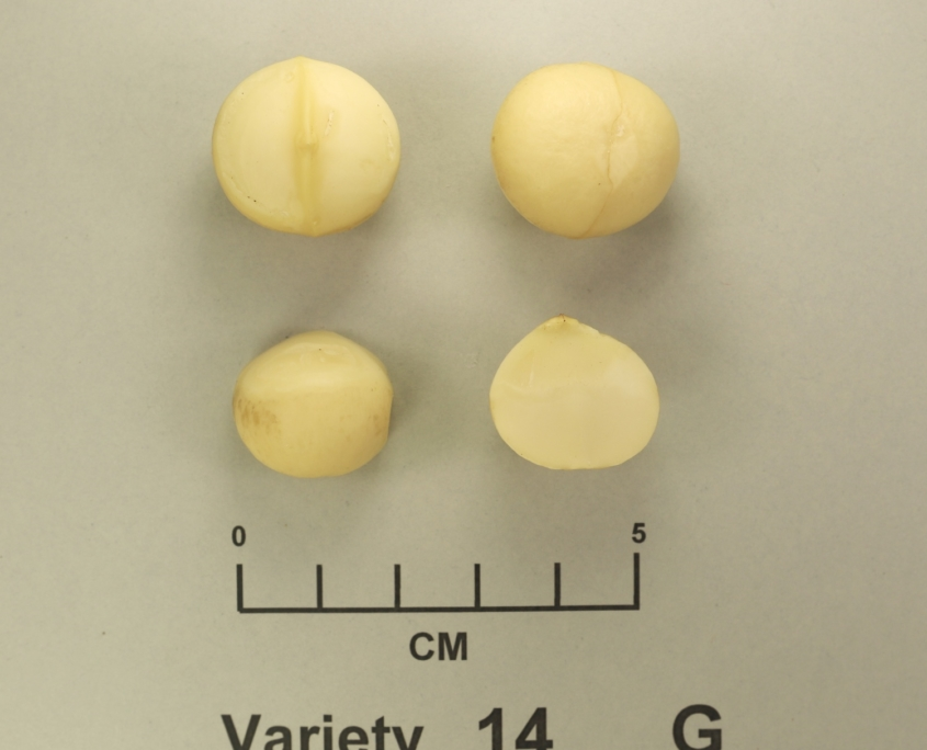 New high yield macadamia variety Variety G - MIV1-G